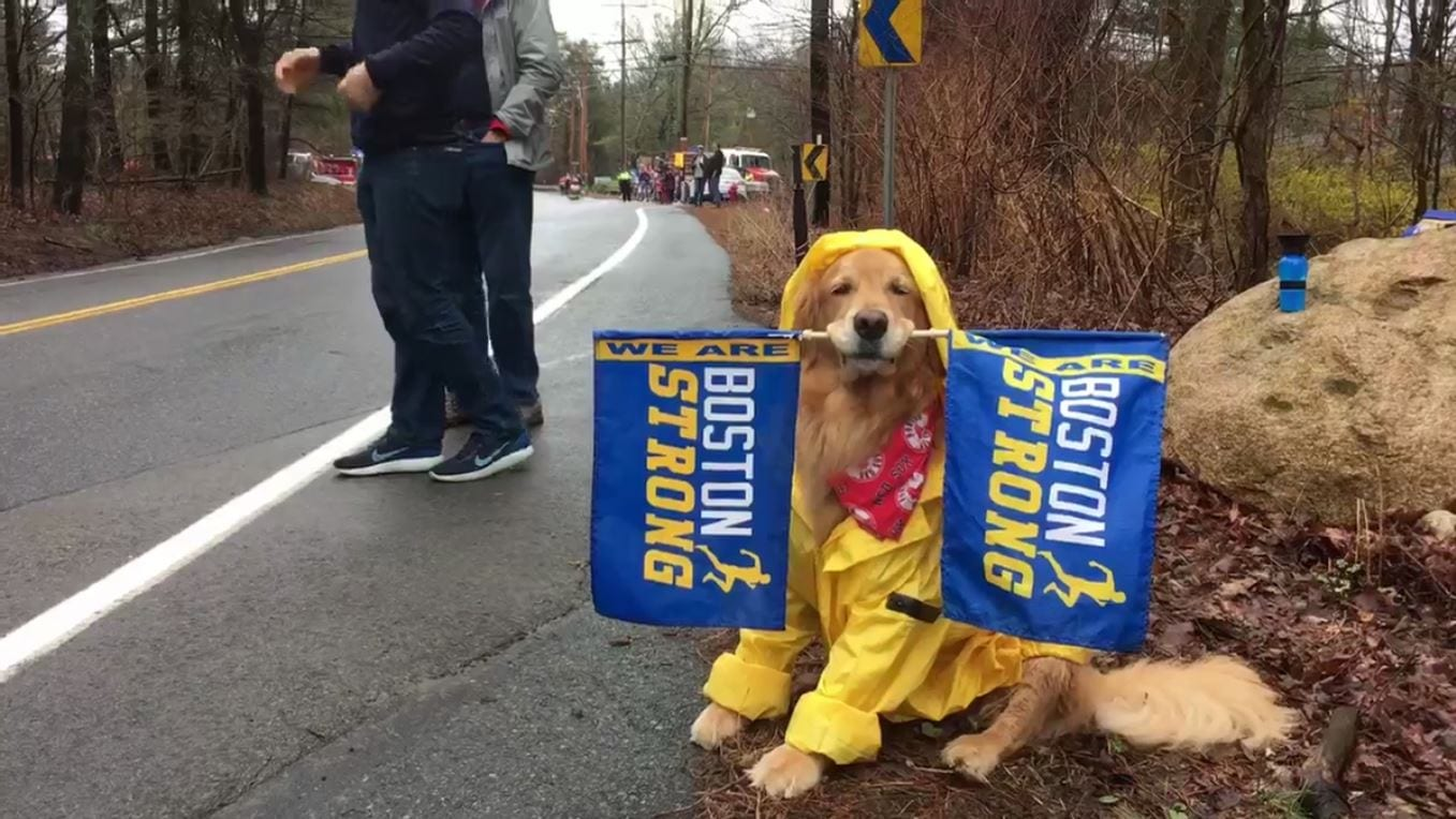 This adorable therapy dog is cheering on Boston Marathon runners