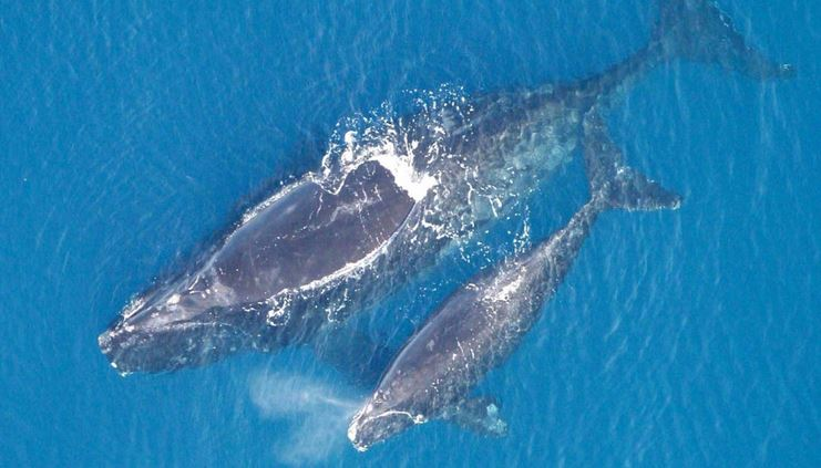 New Hope - Endangered Right Whales experiencing mini-baby boom off US Coast