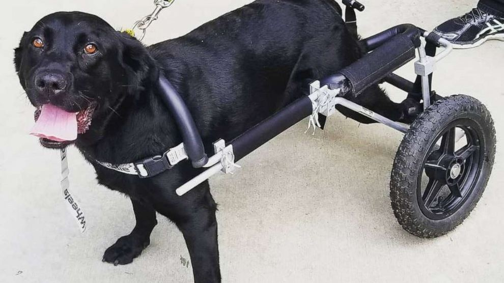 Maggie, a black Labrador Retriever, has found her forever home with a California family who owns a nonprofit serving people with special needs.