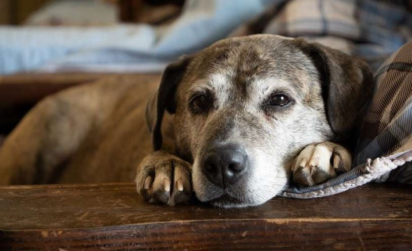 A rescued senior dog rests happily at Old Friends Senior Dog Sanctuary in Tennessee.