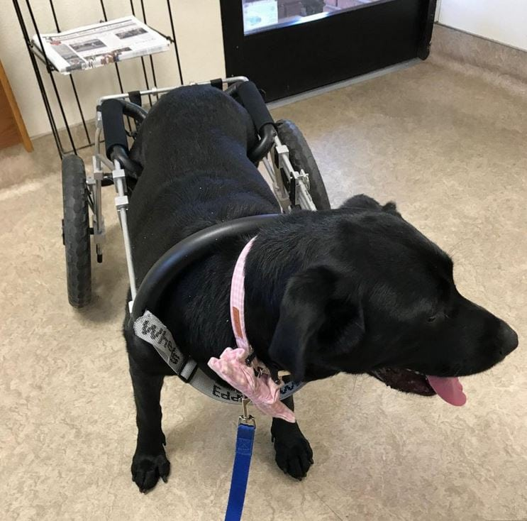 Maggie, a black Labrador Retriever, was adopted this month by the Yearsley family of Moreno Valley, California.