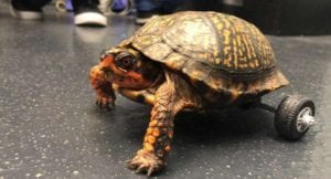 Meet Pedro the turtle who just got a brand new set of wheels.