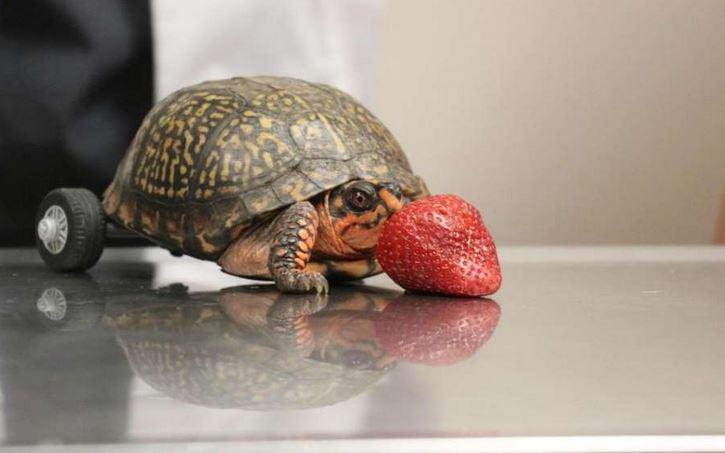 Pedro about to eat a strawberry.