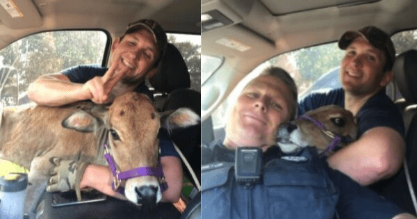 Arkansas state troopers rescue escaped miniature cow, then let her ride shotgun as they return her to safety.