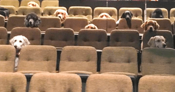 A group of service dogs go viral for hilariously sitting through a live performance of Billy Elliot as part of their training.