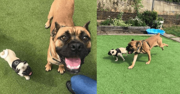 This shelter dog was terrified until he gained confidence from a tiny new friend named Pancake. Credit: Battersea Dogs & Cats Home - Source: The Dodo