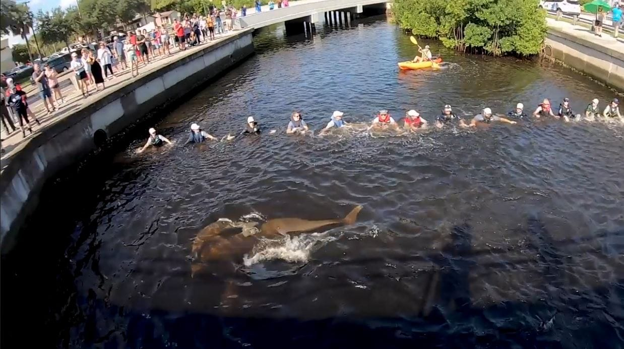Dolphins trapped in Florida canal were returned to safety thanks to the teamwork of human chain. Credit: Clearwater Marine Aquarium