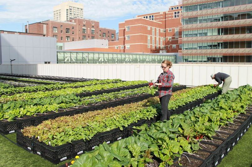 Hospital in Boston has a rooftop farm that produces over 5k pounds of fresh food for its patients. Credit: BMC